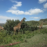 Giraffe Near Kengen Power Plant